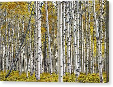 Birch Tree Grove With A Touch Of Yellow Color Canvas Print