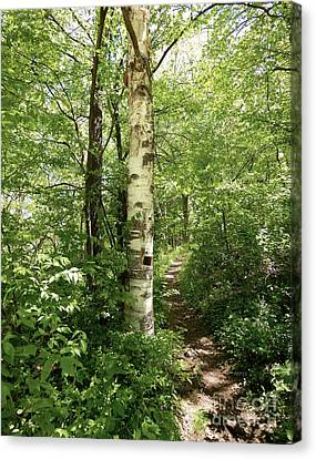 Birch Tree Hiking Trail Canvas Print by Phil Perkins