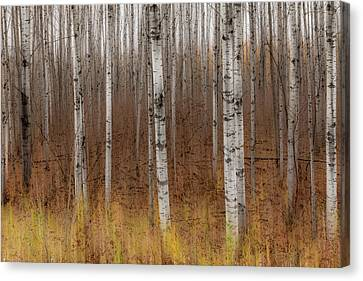 Birch Trees Abstract #2 Canvas Print
