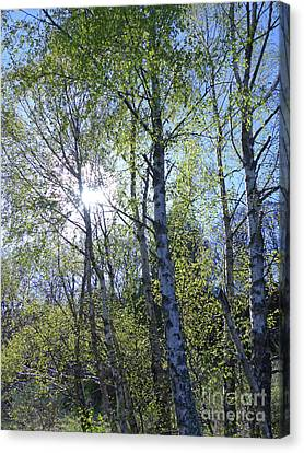 Birch Trees In Spring Canvas Print by Phil Banks