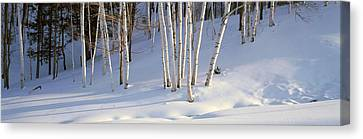 Birch Trees In The Snow, South Canvas Print by Panoramic Images