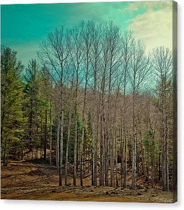 Birch Trees In The Spring Canvas Print by David Patterson