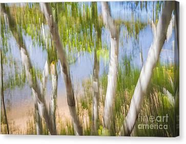 Birch Trees On Lake Shore Canvas Print by Elena Elisseeva