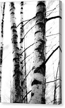 Birch Trees Canvas Print by Tommytechno Sweden