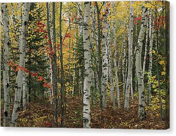 Birch Trees With Autumn Foliage Canvas Print by Medford Taylor