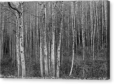 Birch Tress Canvas Print