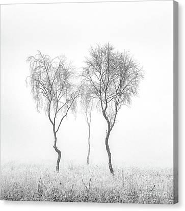Birch Trio Canvas Print by Janet Burdon