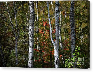 Canvas Print featuring the photograph Birches by Elena Elisseeva