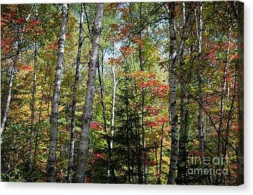 Canvas Print featuring the photograph Birches In Fall Forest by Elena Elisseeva