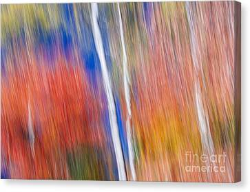 Birches In Red Forest Canvas Print by Elena Elisseeva