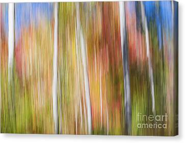 Birches In Sunny Fall Forest Canvas Print