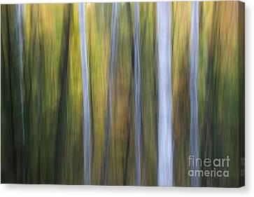 Birches In Twilight Canvas Print by Elena Elisseeva