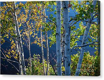 Canvas Print featuring the photograph Birches On Lake Shore by Elena Elisseeva