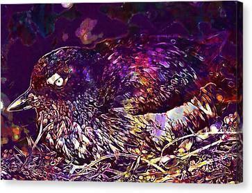 Auklets Canvas Print - Bird Cassins Auklet Crested Birds  by PixBreak Art