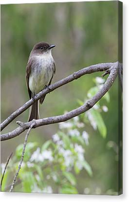 Bird - Eastern Phoebe Canvas Print