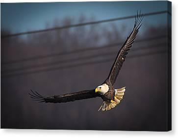Bird In Flight  Canvas Print