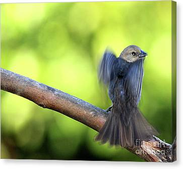 Bif Canvas Print - Bird In Motion . 40d7405 by Wingsdomain Art and Photography