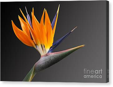 Bird Of Paradise #3 Canvas Print by Judy Whitton
