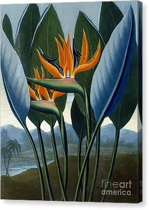 Bird Of Paradise Flower  The Queen Canvas Print by Peter Charles Henderson