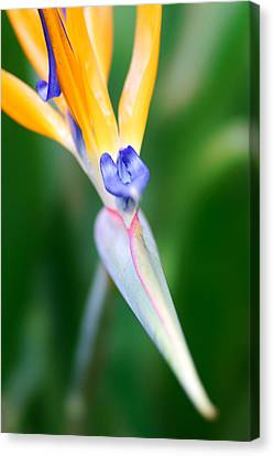 Bird Of Paradise Canvas Print by Francesco Emanuele Carucci