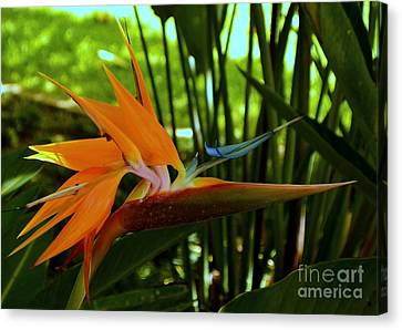 Canvas Print - Bird Of Paradise In The Late Afternoon by Mary Deal