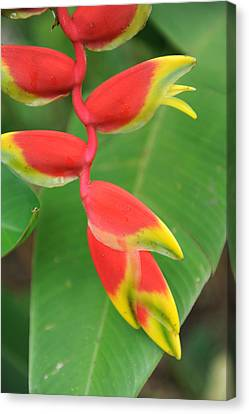 Bird Of Paradise Canvas Print by Jessica Rose