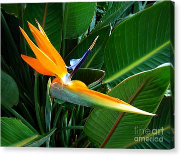 Canvas Print featuring the photograph Bird Of Paradise by Sue Melvin