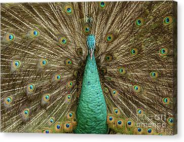 Peacock Canvas Print by Werner Padarin