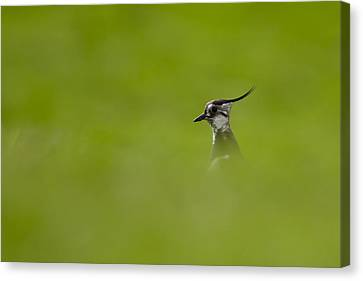 Bird-watching Canvas Print by Gabor Pozsgai