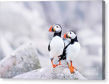 Puffin Canvas Print - Birdland by Evelina Kremsdorf