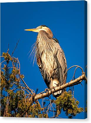 Birds Of Bc - No.7 - Great Blue Heron - Ardea Herodias Canvas Print by Paul W Sharpe Aka Wizard of Wonders