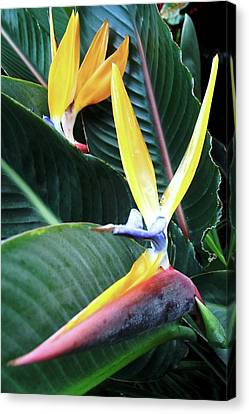 Birds Of Paradise With Leaves Canvas Print
