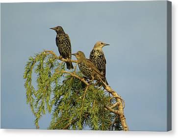 Birds-on-watch Canvas Print by Gordon Auld