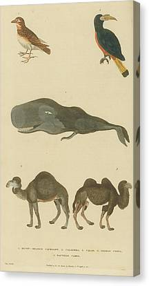 Birds Whale And Camels Canvas Print by Celestial Images