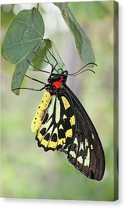 Canvas Print featuring the photograph Birdwing Butterfly I by Dawn Currie