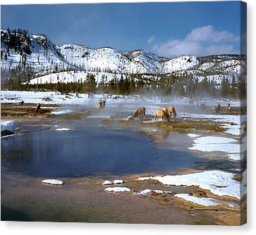 Biscuit Basin Elk Herd Canvas Print by Ed  Riche