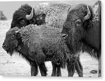 Bison - Way Out West Canvas Print