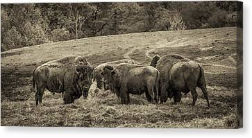 Canvas Print featuring the photograph Bison 1 - Pano by Joye Ardyn Durham