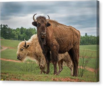 Canvas Print featuring the photograph Bison 10 by Joye Ardyn Durham