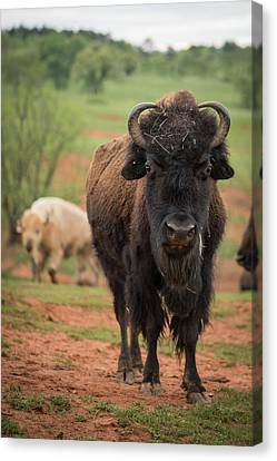 Canvas Print featuring the photograph Bison 6 by Joye Ardyn Durham