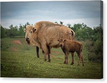 Canvas Print featuring the photograph Bison 7 by Joye Ardyn Durham
