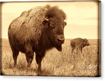 Bison And Calf Canvas Print by American West Legend By Olivier Le Queinec