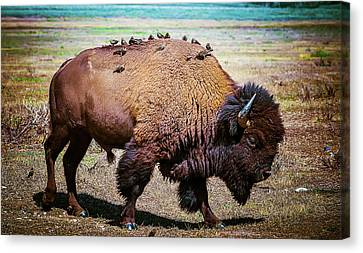 Bison And The Birds Canvas Print by Mary Hone