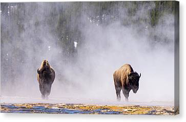 Bison At Biscuit Basin Canvas Print