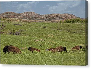 Bison At Rest Canvas Print