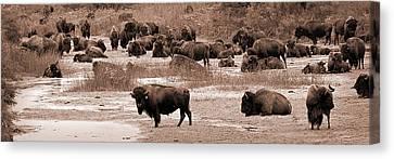 Bison At Salt Fork Arkansas River Kansas Canvas Print by Fred Lassmann