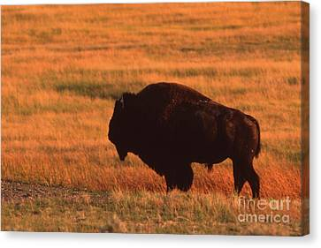 Canvas Print featuring the photograph Bison At Sunset by Edward R Wisell