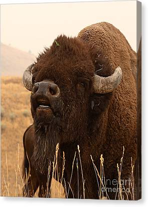 Bison Bellowing At The Sky Canvas Print by Max Allen