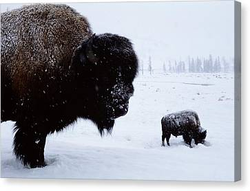 Bison Bison Bison In The Snow Canvas Print by Joel Sartore