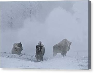 Bison Bison Bison Stand During Winter Canvas Print by Bobby Model